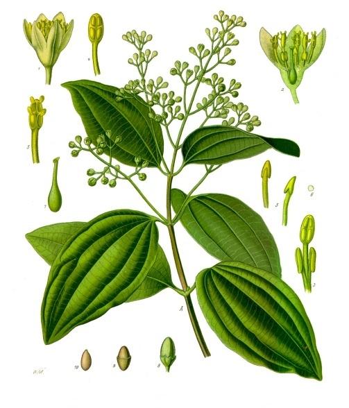 Cinnamomum_verum_-_Köhler–s_Medizinal-Pflanzen-182