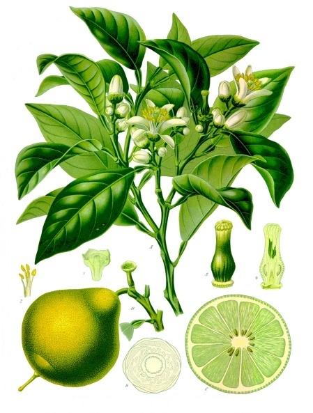 pomarancza-bergamotka