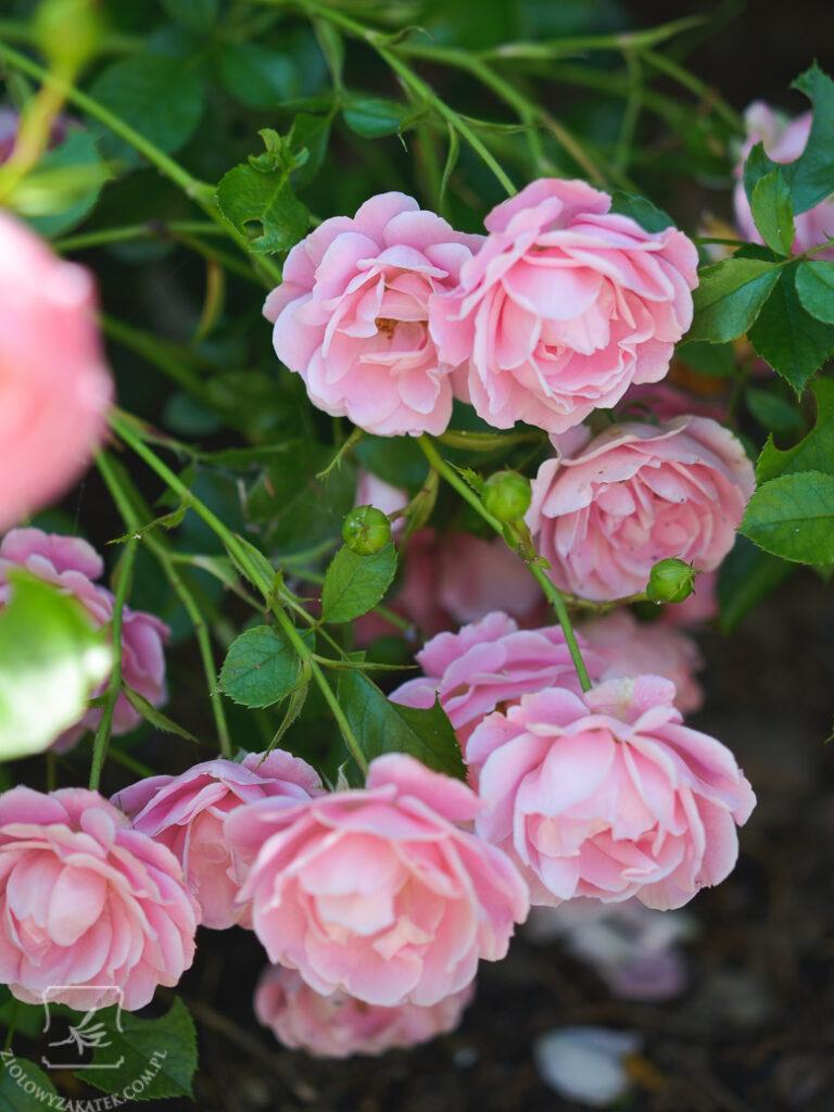 roze-3850