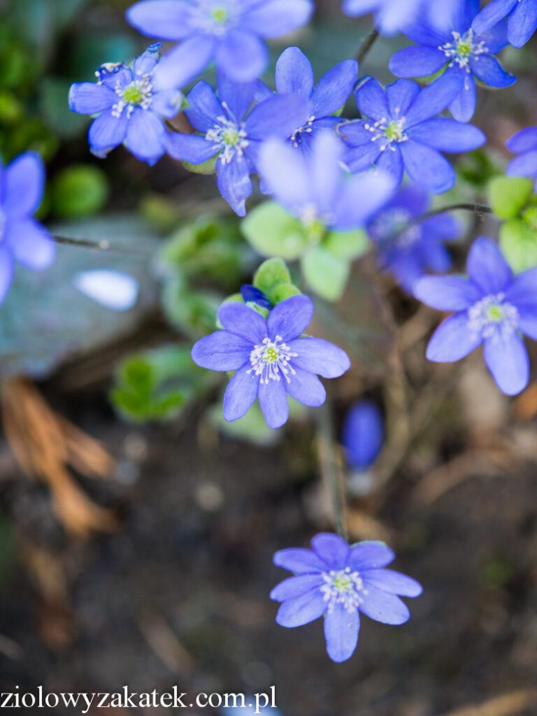 wiosna-kwiaty-8173