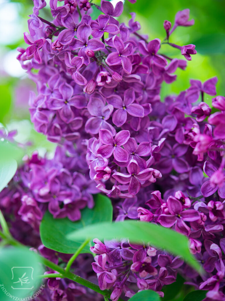 domowe-perfumy-0151
