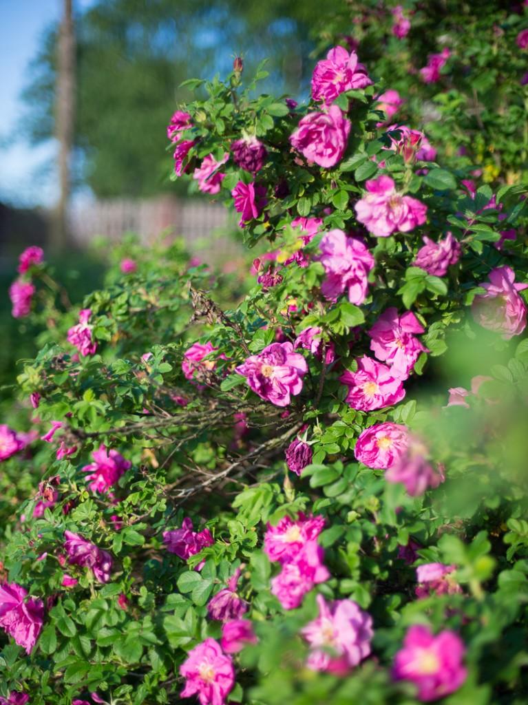 roza-1192