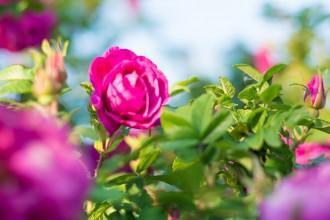 roza-kwiatki-0907