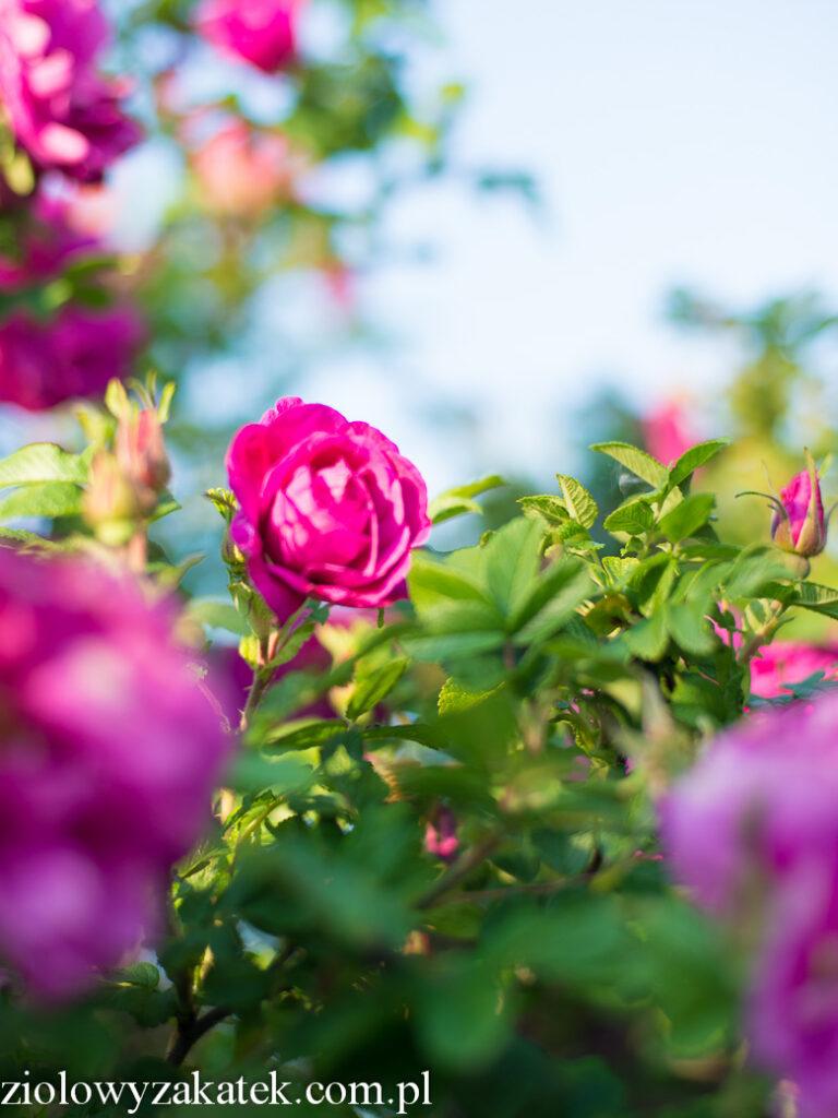 Różane szaleństwo, czyli pomysły na płatki róż!