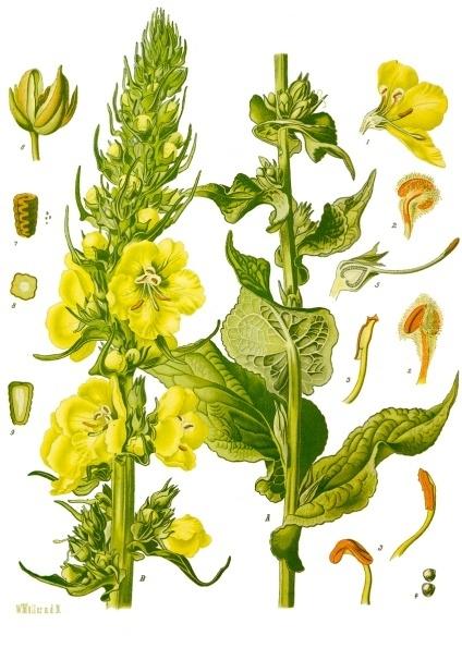 Verbascum_phlomoides_-_Köhler–s_Medizinal-Pflanzen-144