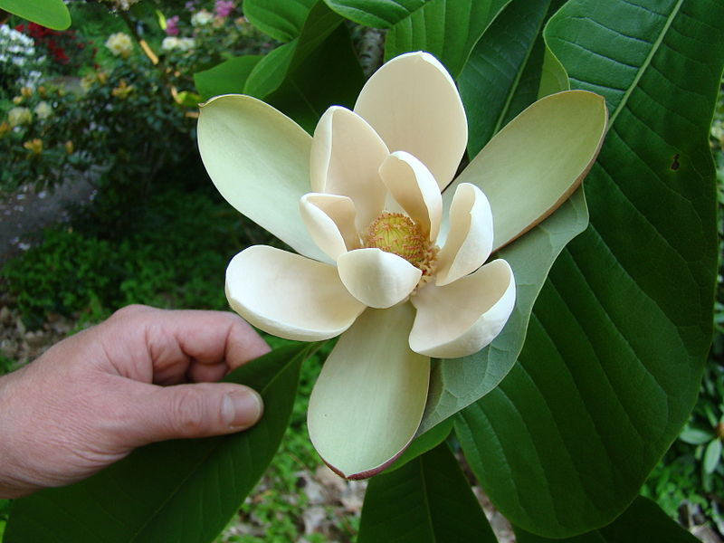 800px-Magnolia_officinalis_biloba