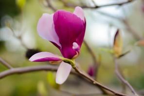 Magnolia: zastosowania o których nie wiedzieliście.