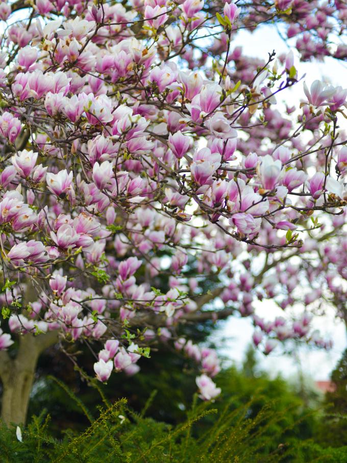 magnolia (1 of 1)-3