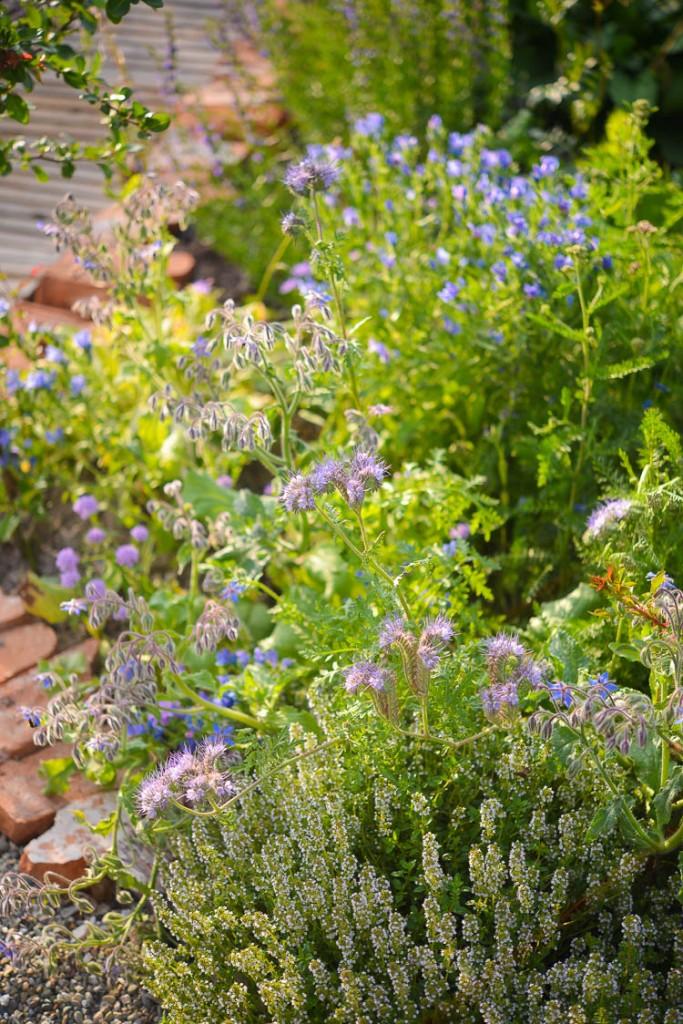 [Ogród] Moja rabata w błękitach.