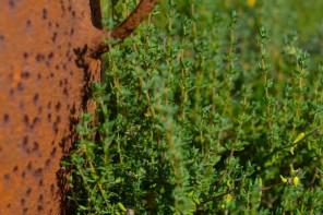 Olejek tymiankowy – jak stosować