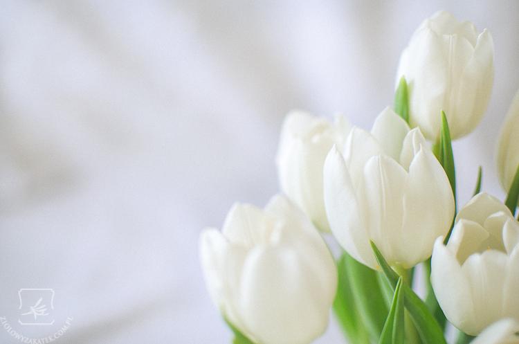 tulipan-mini-2