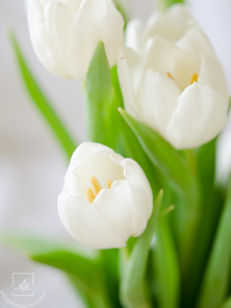 tulipan-7560