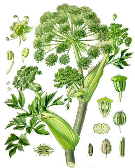 Koehler1887-GardenAngelica