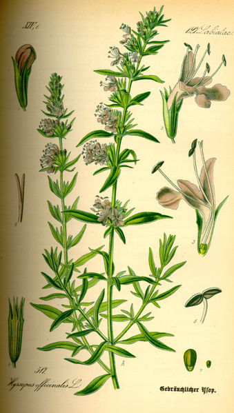 339px-Illustration_Hyssopus_officinalis0