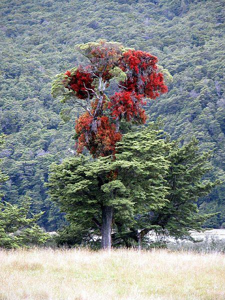 450px-Red_mistletoe,_Hopkins_River,_New_Zealand