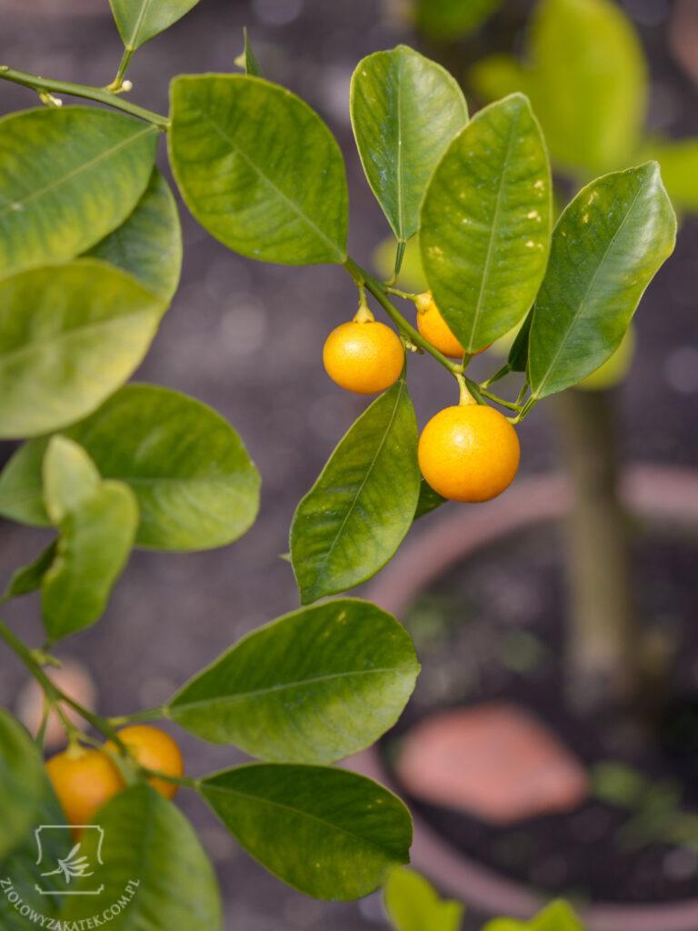 Najlepsze olejki aromaterapeutyczne: co to jest dobra jakość?
