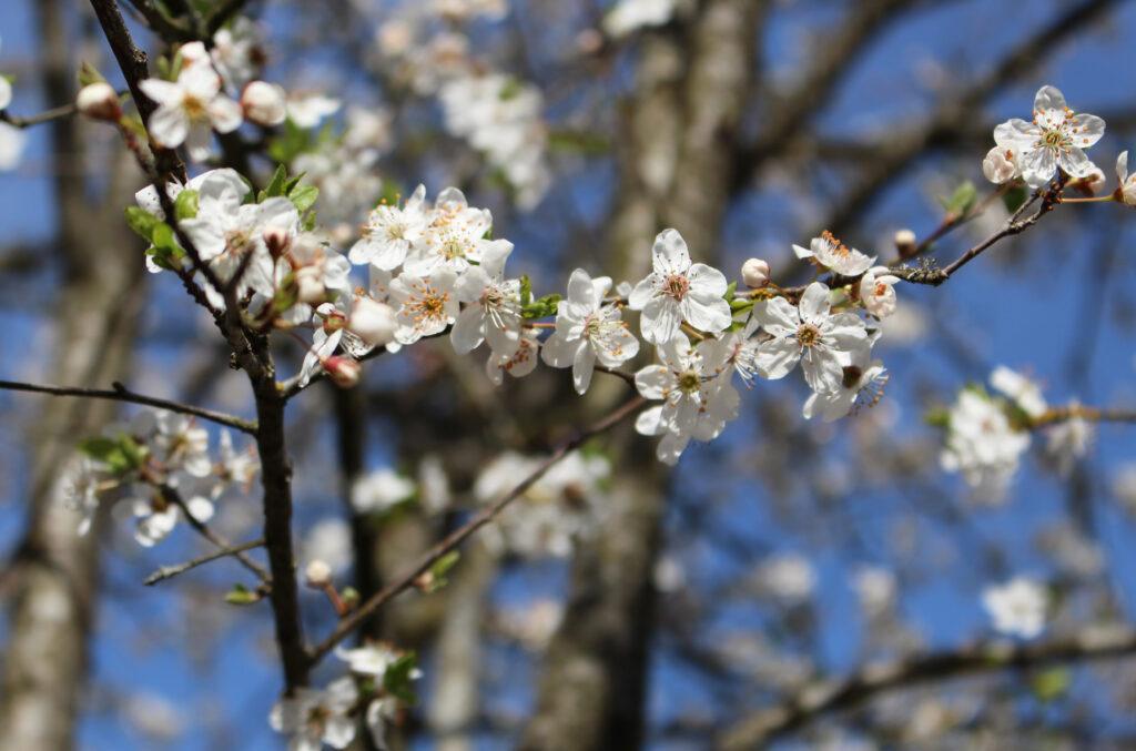 Projekt Sakura(1)
