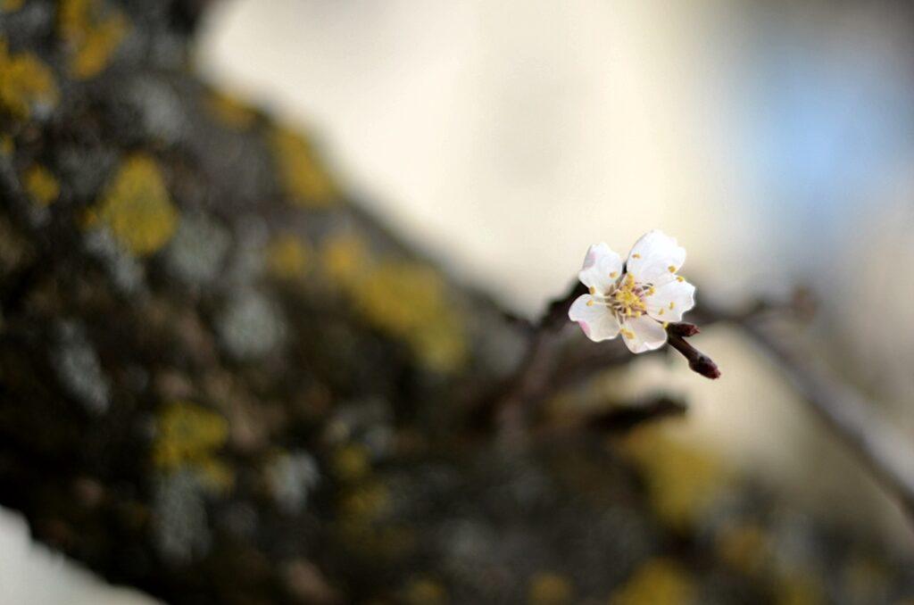 earfromtheherring_sakura (1)