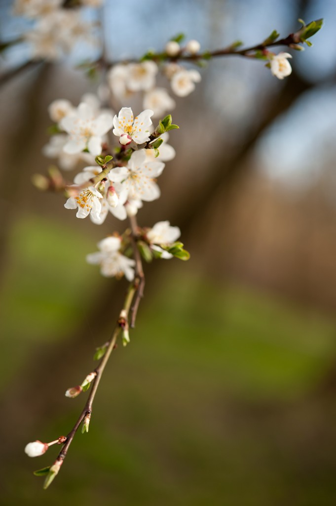 Projekt Sakura 2016! Dołącz się!